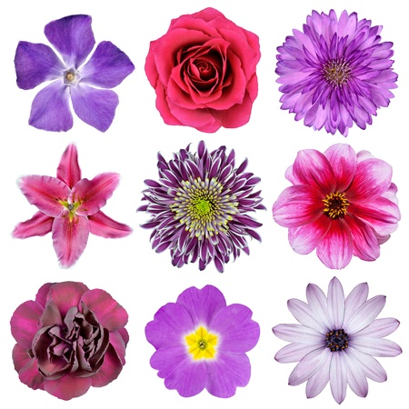 Various Pink, Purple, Red Flowers Isolated on White Background. Selection of Nine Periwinkle, Rose, CornFlower, Lily, Daisy, Chrysanthemum, Dahlia, Carnation, Primrose Flowers