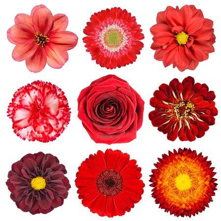 flower: Selection of Various Red Flowers Isolated on White Background. Set of Nine Dahlia, Gerber, Daisy, Carnation, Rose, Zinnia Flowers