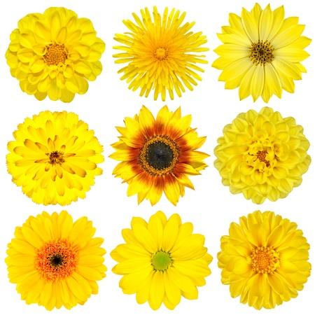 Collection de fleurs jaune isolé sur blanc. Ensemble divers de Dahlia, pissenlit, Daisy, Gerber, de tournesol, fleurs de souci Banque d'images - 12411379
