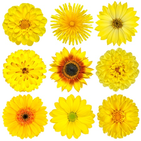 Collection of Yellow Flowers Isolated on White. Various set of Dahlia, Dandelion, Daisy, Gerber, Sunflower, Marigold Flowers Stockfoto