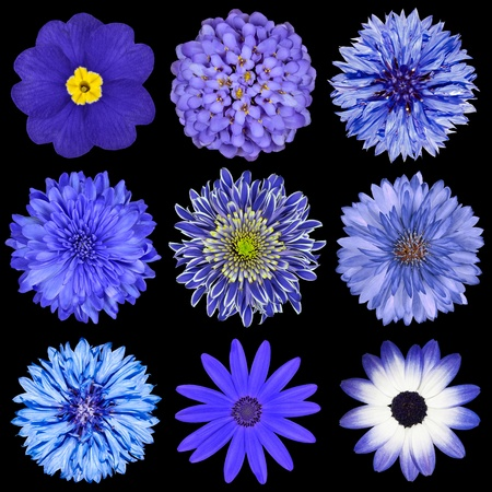 gerber: Various Blue Flowers Selection Isolated on Black Background. Daisy, Chrystanthemum, Cornflower, Dahlia, Iberis, Primrose