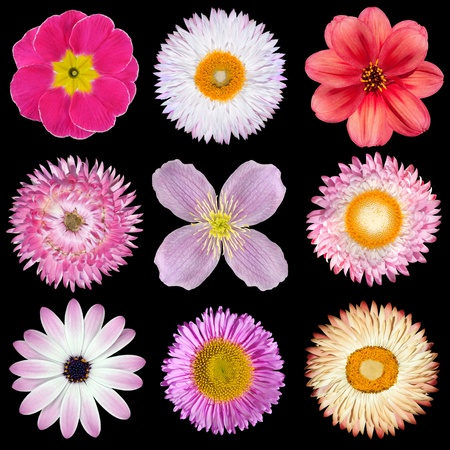 gerber: Various Pink, Red, White Flowers Isolated on Black Background. Selection of Strawflower, Clematis, Daisy, Dahlia, Primrose, English Daisy Stock Photo