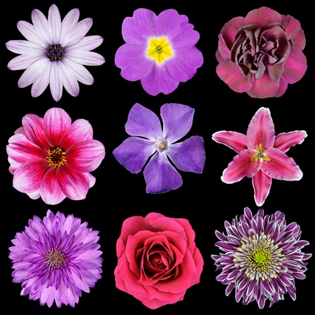 blue rose: Various Pink, Purple, Red Flowers Isolated on Black Background. Selection of Nine Periwinkle, Rose, CornFlower, Lily, Daisy, Chrysanthemum, Dahlia, Carnation, Primrose Flowers