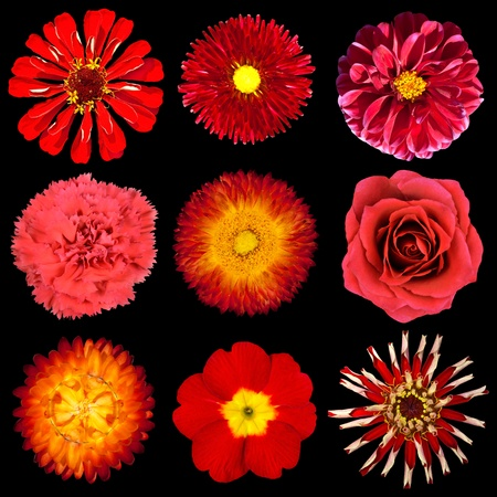 purple rose: Collection of Red Flowers Isolated on Black Background. Set of Nine Zinia, Primrose, Strawflower, Rose, Carnation, Dahlia, Perenial Daisy Flowers