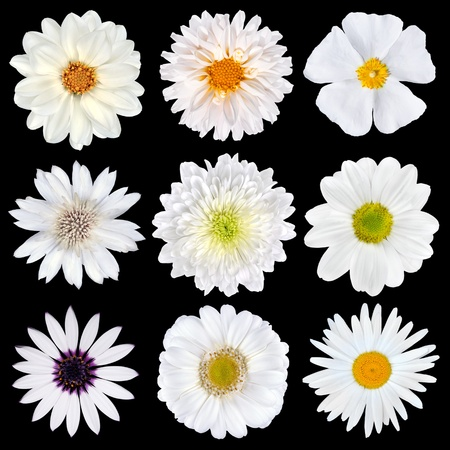 Various Selection of White Flowers Isolated on Black Background. Set of Nine Daisy, Gerber, Marigold, Osteospermum, Chrysanthemum, Strawflower, Cornflower, Dahlia Flowers