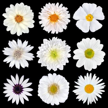 daisy flower: Various Selection of White Flowers Isolated on Black Background. Set of Nine Daisy, Gerber, Marigold, Osteospermum, Chrysanthemum, Strawflower, Cornflower, Dahlia Flowers