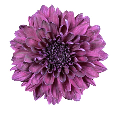 Chrysanthemum flower purple with lime green white center isolated purple chrysanthemum flower isolated on white background photo mightylinksfo Choice Image
