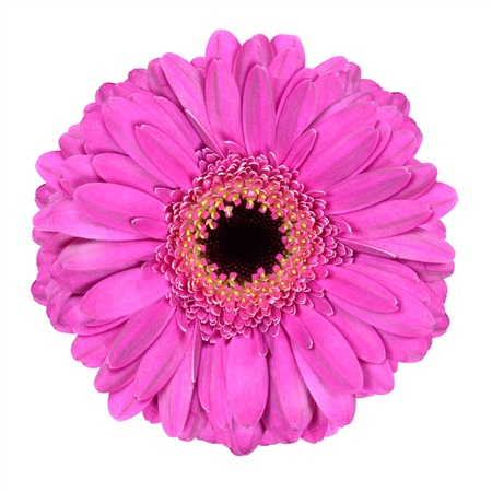 Pink Gerbera Flower Macro Isolated on White Background 스톡 콘텐츠