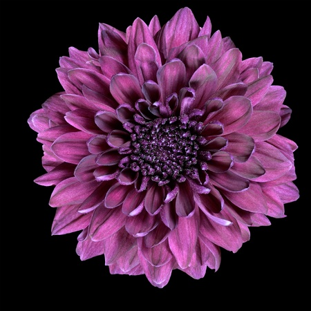 dahlia: Púrpura flor de crisantemo aislado en el fondo Negro