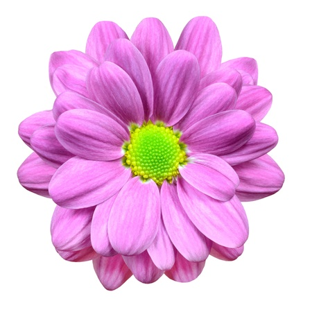 Beautiful Pink Dahlia Flower with Lime Green Center  Isolated on White Background