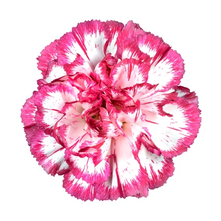 Macro of Pink Carnation Flower Isolated on White Backround Фото со стока