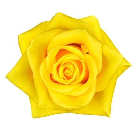 Beautiful Macro of Yellow Rose Flower Isolated on White Background