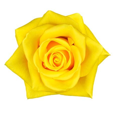 Beautiful Macro of Yellow Rose Flower Isolated on White Background