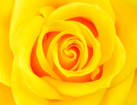 Macro of Perfect Yellow Rose Flower  Flower fills the whole frame photo