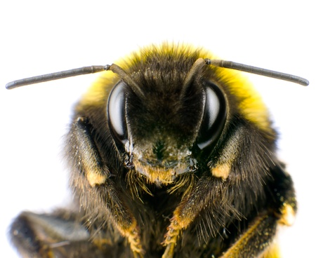 Ultra Macro of Bumblebee Head with Antennas Isolated on White Background