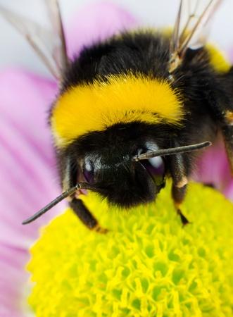composition vertical: Impollinazione Bumblebee sul fiore giallo. Composizione verticale