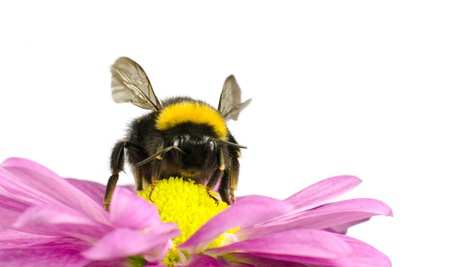 bumble bee: Bumblebee pollinating on Pink Daisy Flower Isolated on White Background Stock Photo