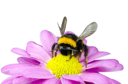 blossom honey: Bumblebee pollinating on Pink Daisy Flower Isolated on White Background Stock Photo