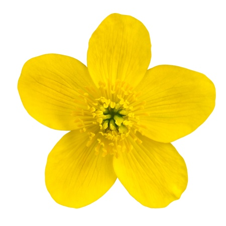 buttercup: Marsh Marigold Yellow Flower Isolated on White Background  Caltha Palustris Macro Detail
