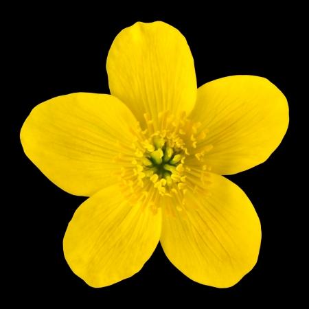Marsh Marigold Yellow Flower Isolated on Black Background. Caltha Palustris Macro Detail