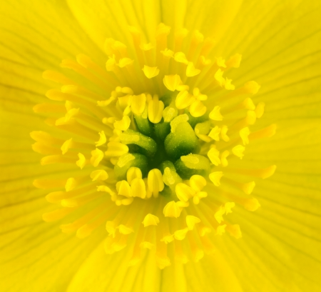 anther: Macro of Yellow Marsh Marigold Flower Center. Closeup of Pistils, Anther with Yellow Background
