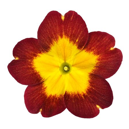 primrose: Red Primrose Flower with Yellow Center Isolated on White Background. Macro Closeup