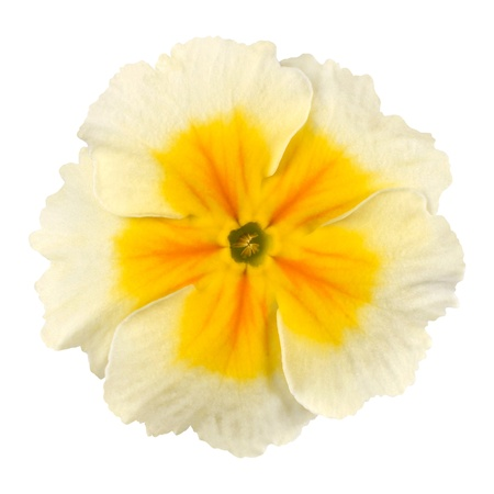 primula: White Primrose Flower with Yellow Center Isolated on White Background. Macro Closeup Stock Photo