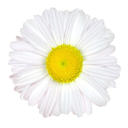 Daisy Flower Isolated on White Background - White with Yellow Center