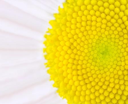 Daisy Flower - Yellow Center Ultra Macro Close-up photo