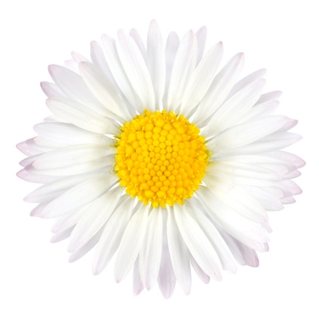 White Daisy Flower with Yellow Center Isolated on White Background Stockfoto