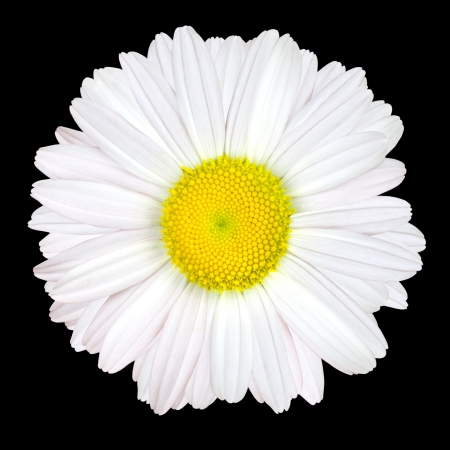 White Daisy Flower Isolated on Black Background - White with Yellow Center photo