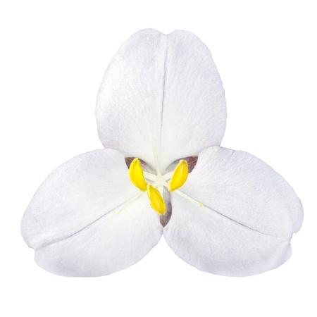 White Trillium Wild Flower Isolated on White Background