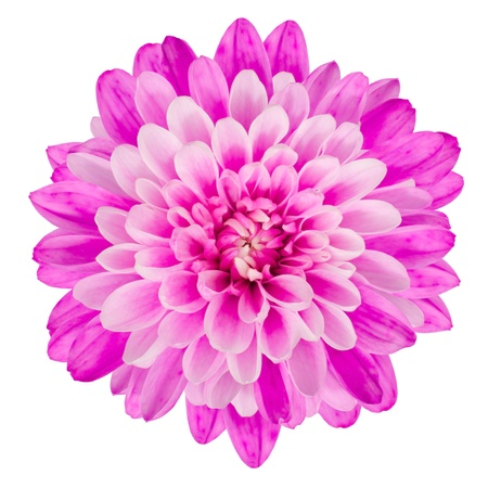Pink Chrysanthemum Flower Isolated on White Background  Macro Closeup Stock Photo