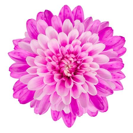 Pink Chrysanthemum Flower Isolated on White Background  Macro Closeup Stockfoto