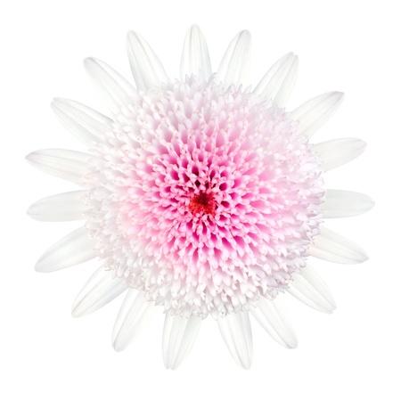 Pink Daisy blanco tipo de flor con los p�talos blancos y el centro de grandes Aislado sobre fondo blanco photo