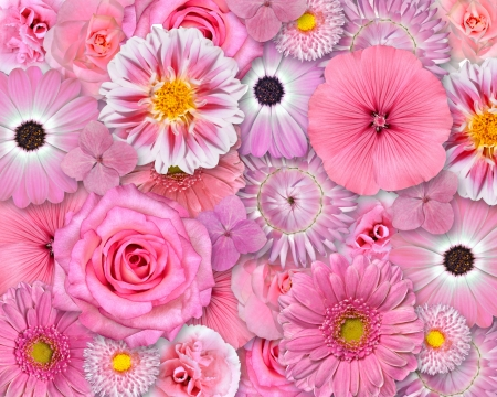 Selection of Various Pink White Flowers on top of each other forming Pink Background  Selection of Daisy, Carnation, Chrysanthemum, Hydrangea, Gerber, Rose, Strawflower, Petunia Flowers photo