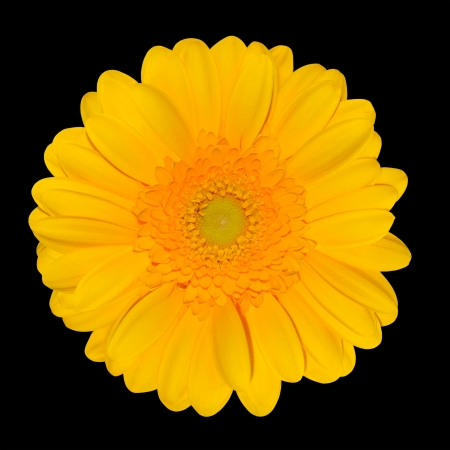 Yellow Gerbera Daisy Flower head Isolated on Black Background   photo