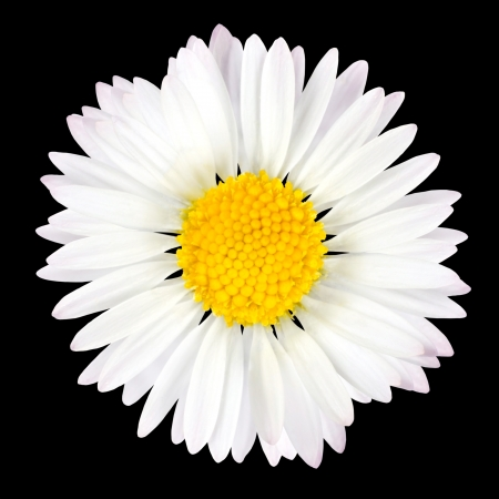 chamomile flower: Daisy Flower Isolated on Black Background - White with Yellow Center