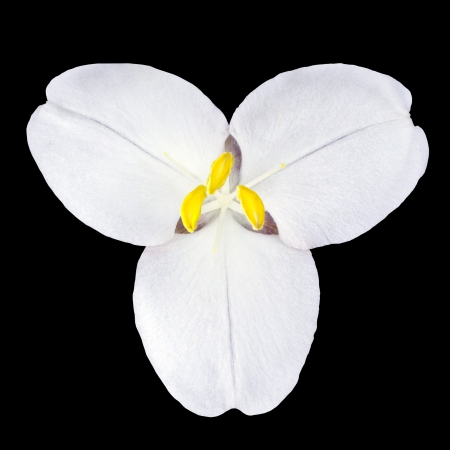 White Trillium Wild Flower Isolated on Black Background