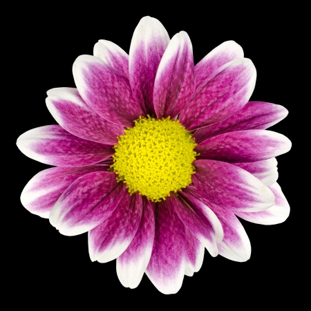 Purple Dahlia flower with yellow Center and white leaf edges Isolated on Black Background Foto de archivo