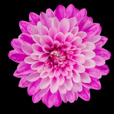 Pink Chrysanthemum Flower Isolated on Black Background Macro Closeup