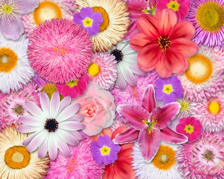 Flower Background Pink, Red, White Colors - Various Pink, Red, White Isolated Flowers. Selection of Strawflower, Clematis, Daisy, Dahlia, Primrose, English Daisy photo