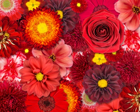 Red Flower Background. Selection of Various Isolated Red Flowers. Set of  Dahlia, Gerbera, Daisy, Carnation, Rose, Zinnia Flowers photo