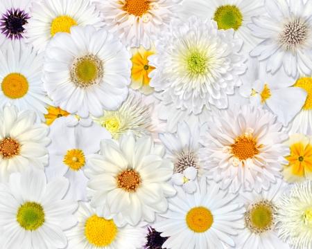 White Flower Background. Selection of Isolated White Flowers. Set of Daisy, Gerber, Marigold, Osteospermum, Chrysanthemum, Strawflower, Cornflower, Dahlia Flowers photo