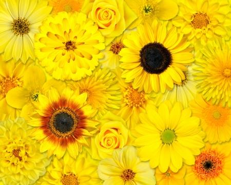 Yellow Flower Background. Selection of Yellow Flowers. Various set of Dahlia, Dandelion, Daisy, Gerber, Sunflower, Marigold Flowers photo