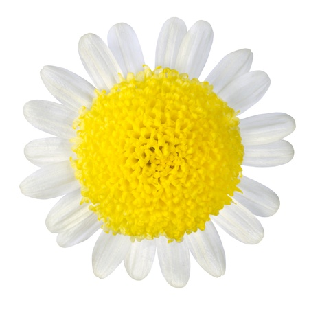 Yellow Flower with White Petals Isolated on White Background photo