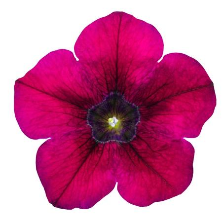 morning glory: Purple Morning Glory Flower Isolated on White Background