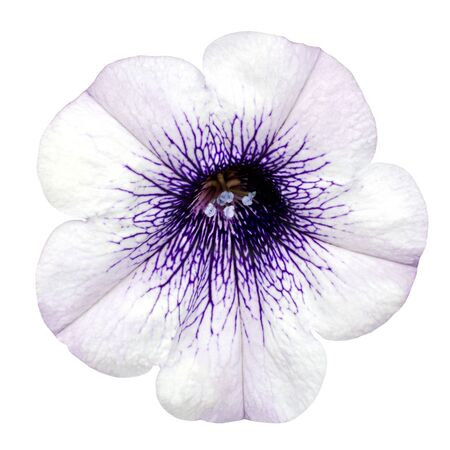 glory: White Morning Glory Flower with Purple Center Isolated on White