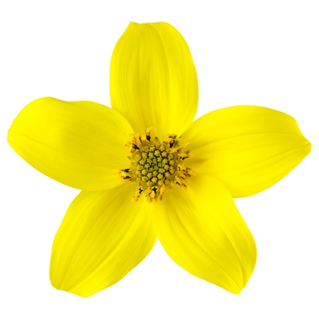 Yellow Wild Flower with Five Petals Isolated on White Background photo