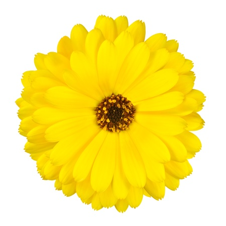 officinalis: One Blossoming Yellow Pot Marigold Flower - Beautiful Calendula officinalis Isolated on White Background. Top view Stock Photo